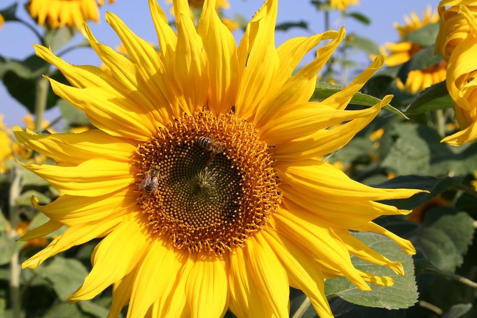 Sunflower, Nature, Flower, Yellow, Blossom, Bloom