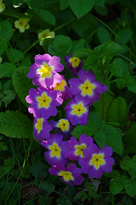 Primrose, Flower, Blossom, Bloom, Purple, Yellow