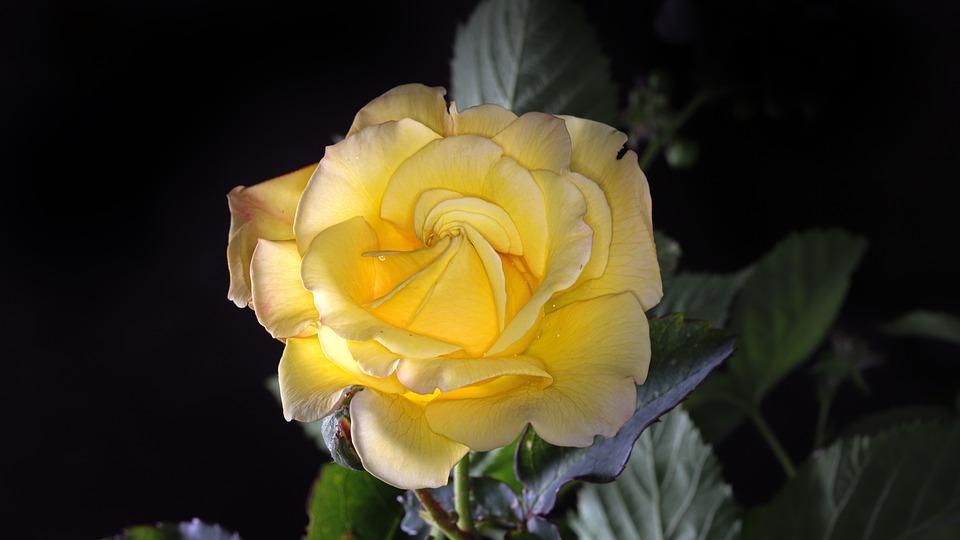 Rose, Yellow Rose Flower, Blossom, Bloom, Romantic