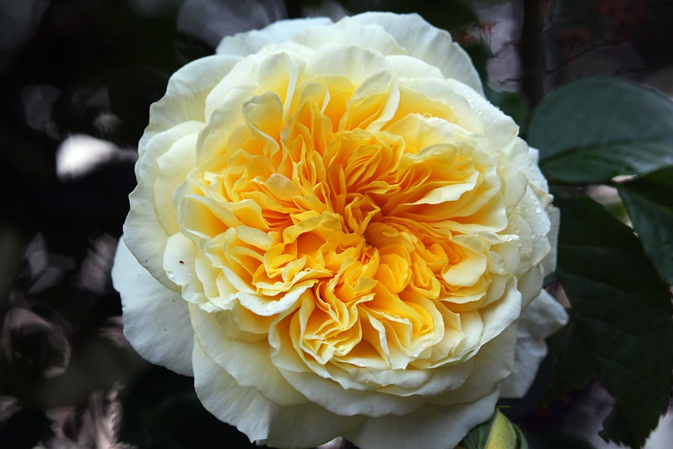 Yellow Rose, Rose, Blossom, Bloom, Romantic, Bloom
