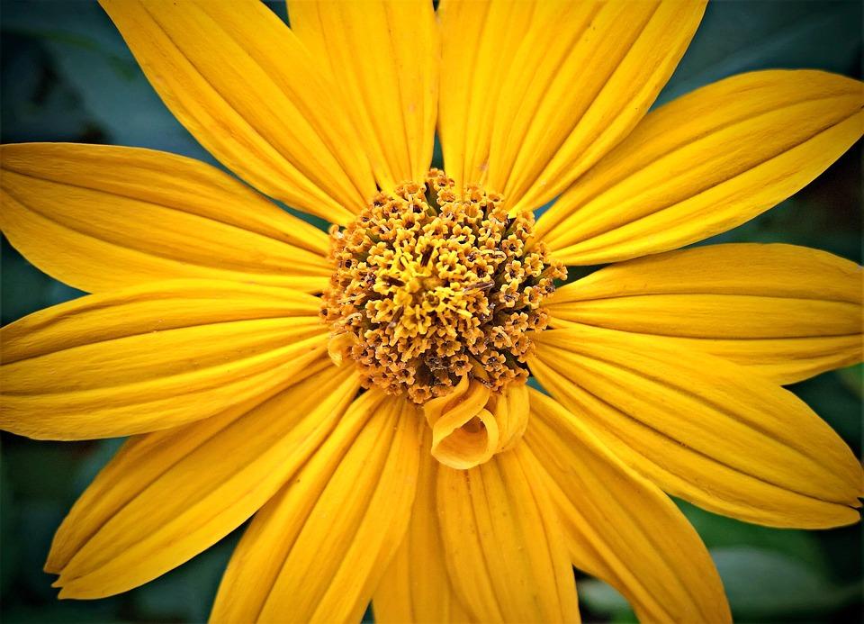 Flower, Sunflower, Blossom, Bloom, Blossomed