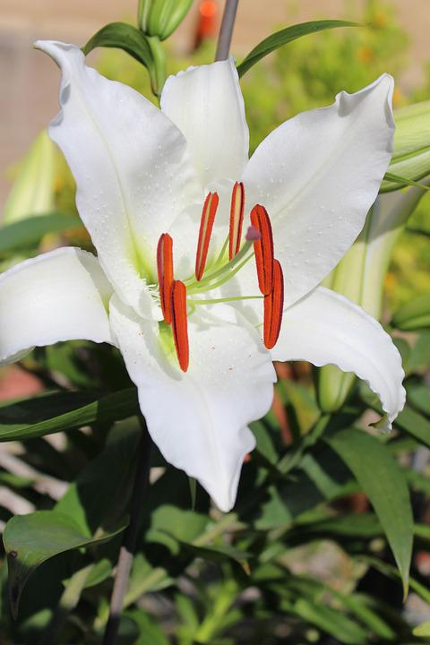 Lily, White, Lily Family, Blossom, Bloom, Blossomed