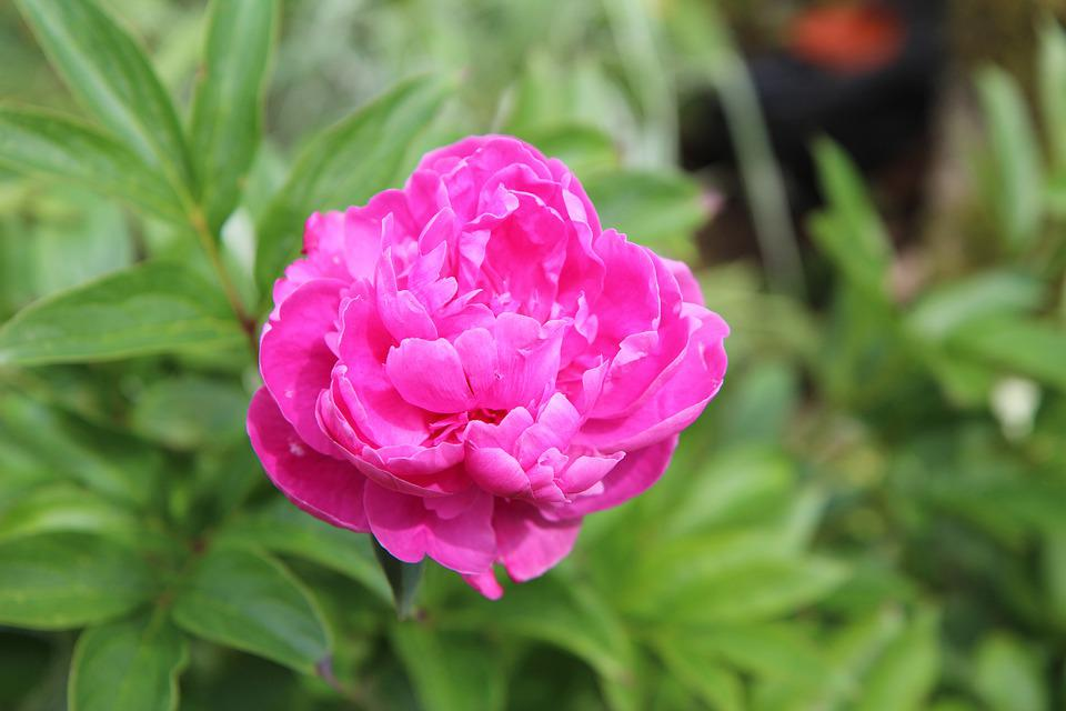 Peony, Peony Rose, Flowering, Garden, Blossomed