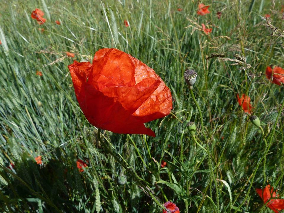 Poppy, Flowers, Macro, Nature, Red, Summer, Blossomed