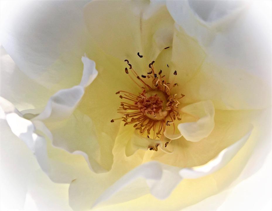 Flower, Rose, Rose Bloom, White, Blossomed