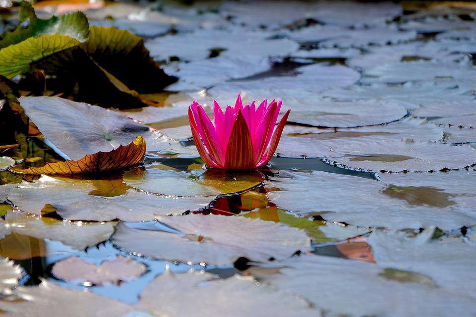 Water Lily, Lotus Flower, Lily Pads, Blossoming