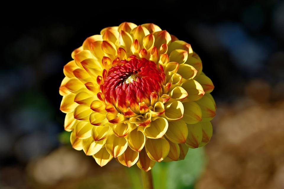Dahlia, Flower, Petals, Blooming, Blossoming, Flora