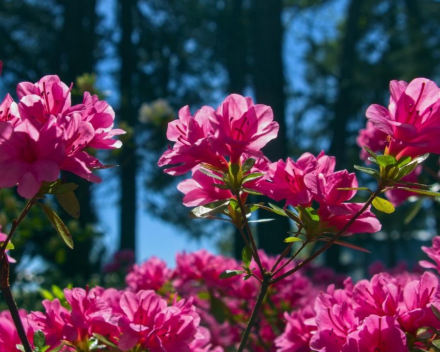 Pink Azalea In Arkansas, Blossoms, Azalea, Bloom