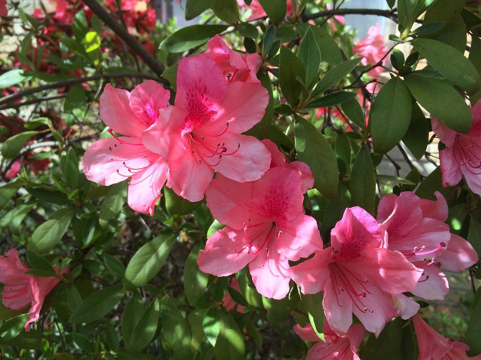 Azalea, Blossoms, Close