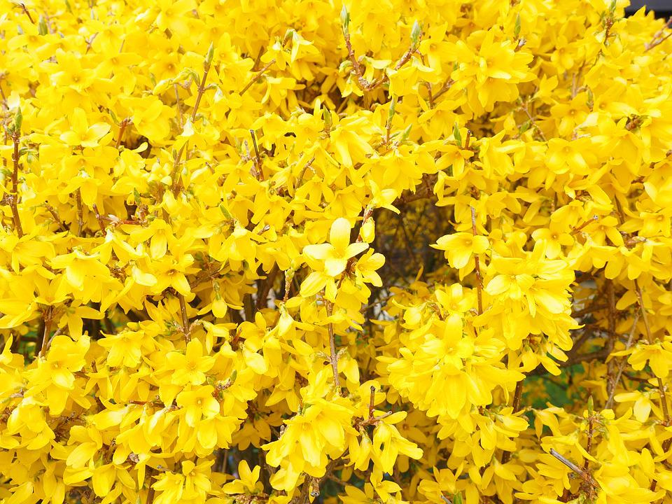 Forsythia, Blossoms Branches, Yellow, Gold Lilac