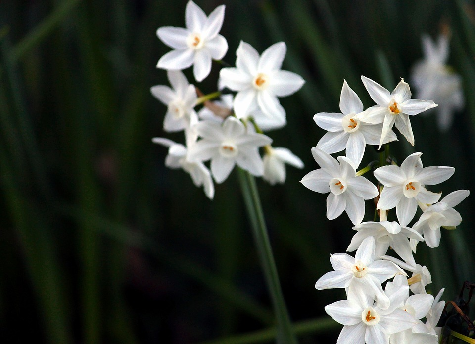 Daffodils, White, Flowers, Spring, Blossoms, Nature
