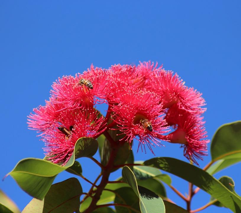 Eucalyptus, Blossoms, Red, Blue Sky, Bees, Nature