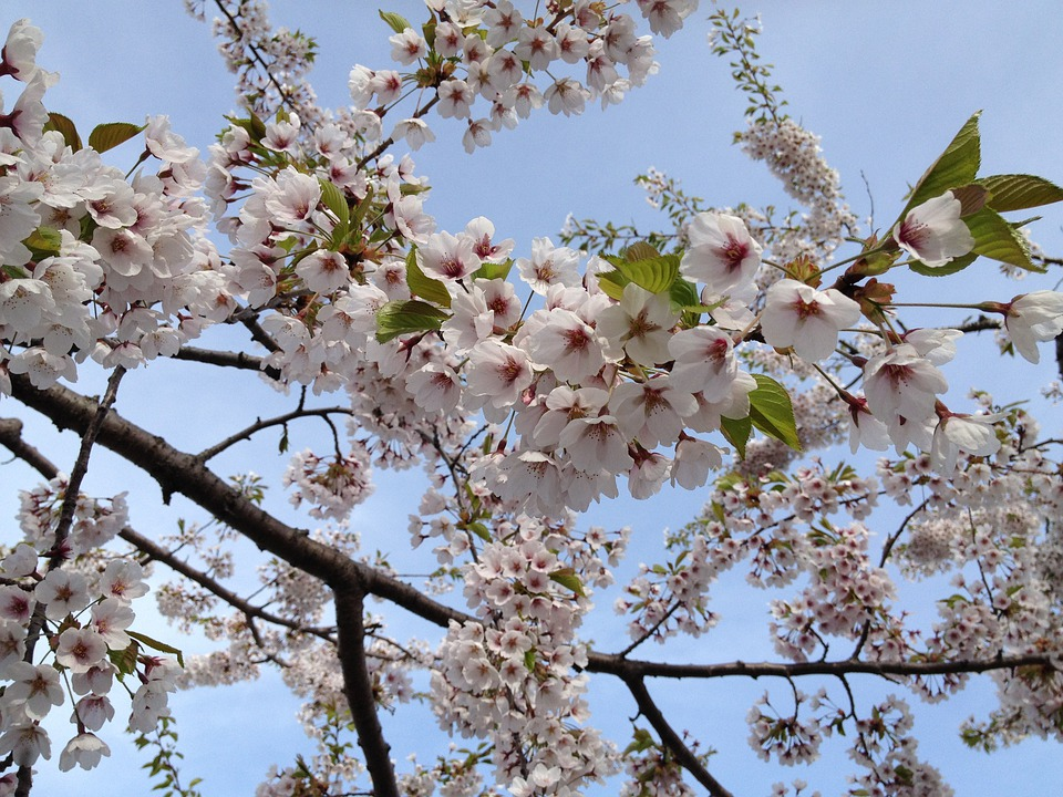 Cherry, Blossoms, Japanese, White, Light Pink, Blooms