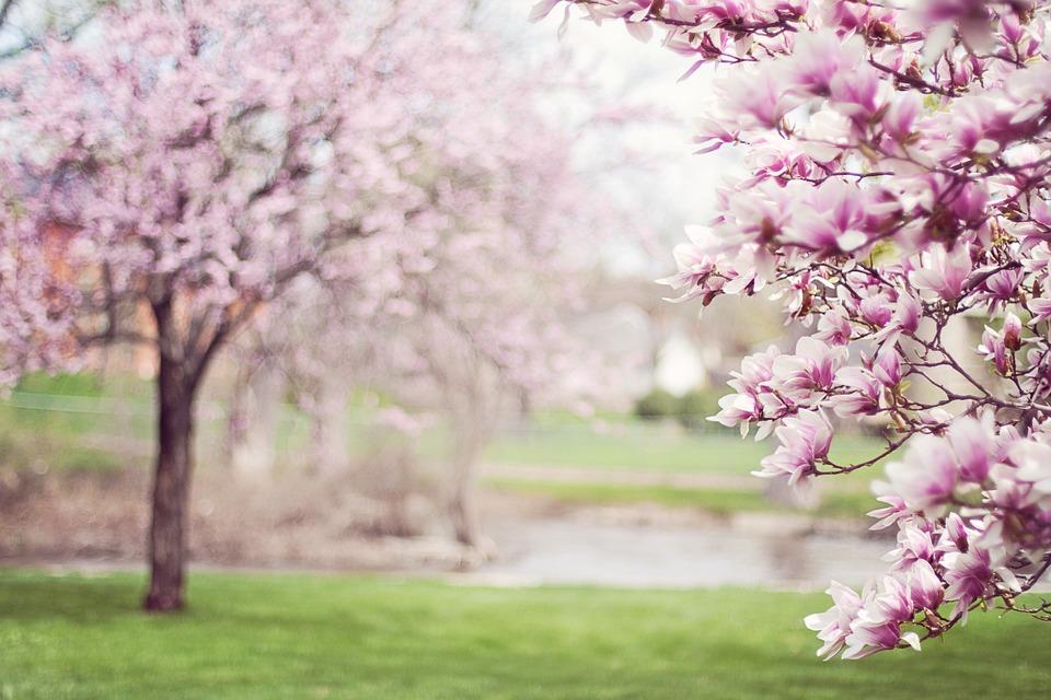 Magnolia Trees, Springtime, Blossoms, Spring