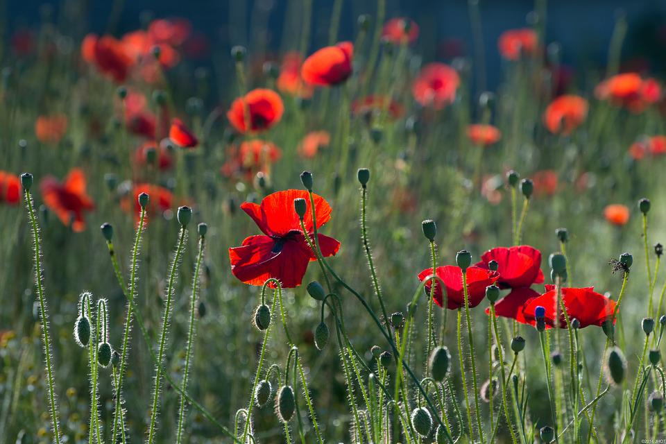 Poppies, Flowers, Nature, Summer, Blossoms, Poppy Field