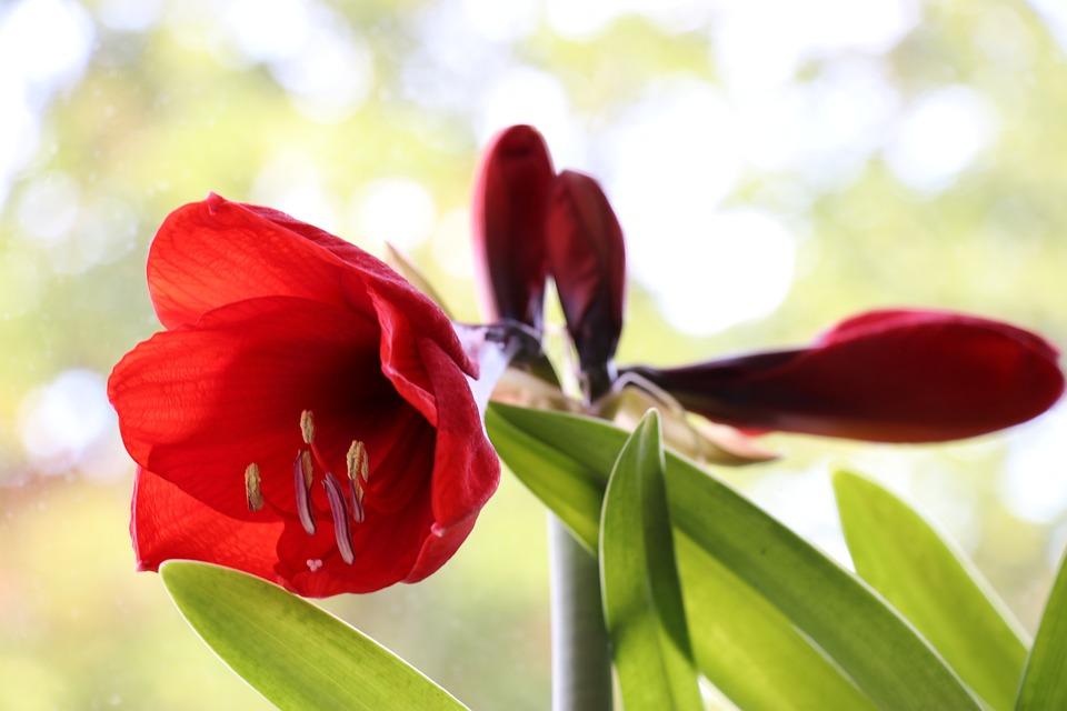 Amarillis, Red, Blossom, Bloom, Close Up, Blossoms