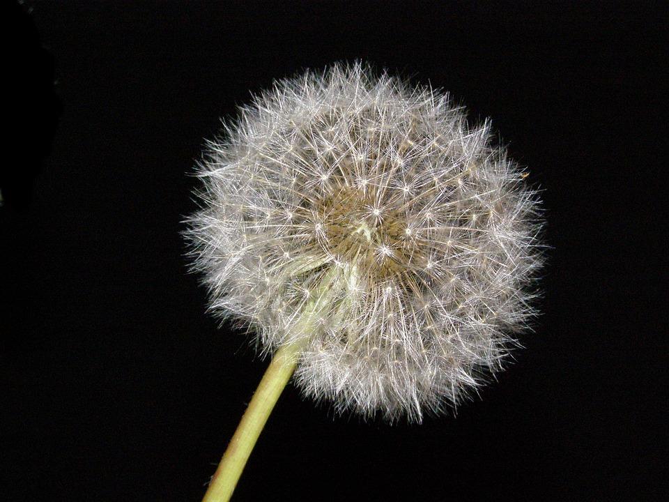 free photo blow flower nature blowball dandelion plant flower max