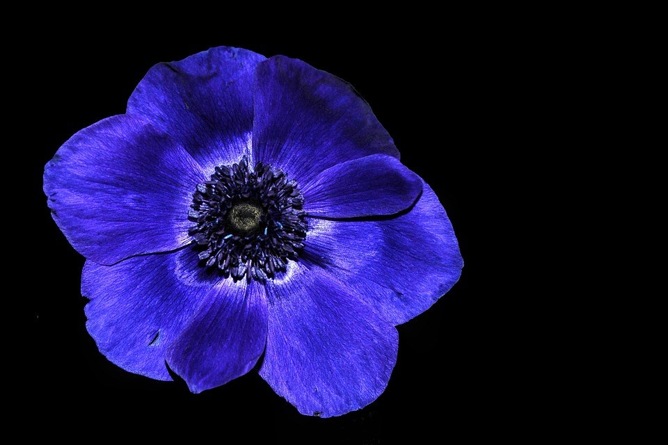 Anemone, Hahnenfußgewächs, Blue, Black Background