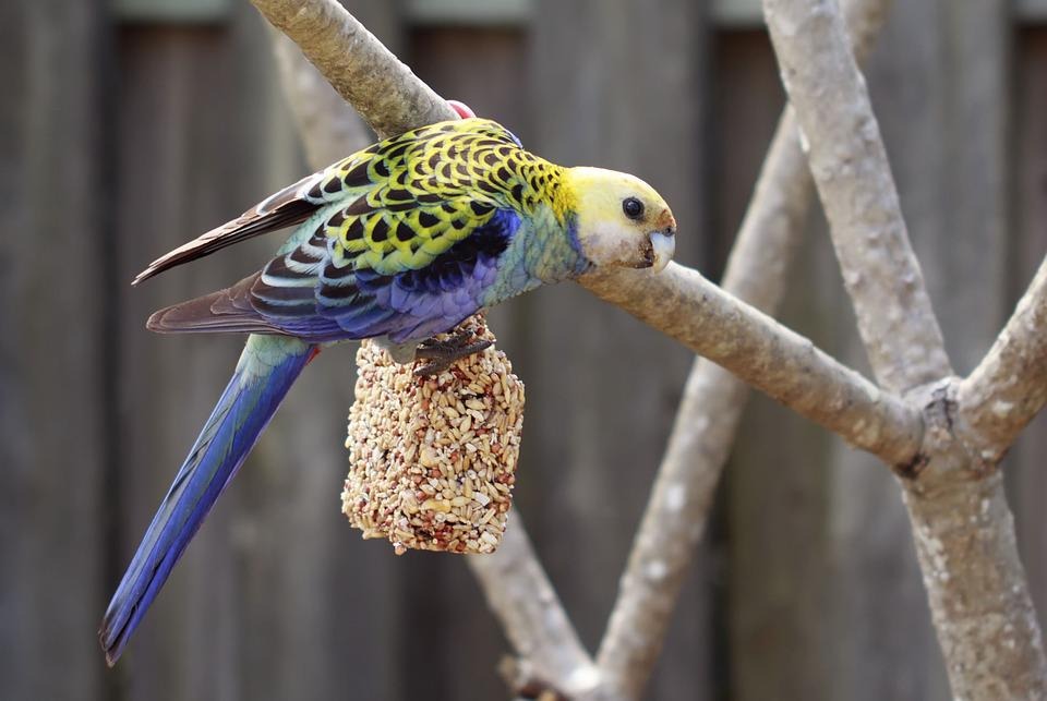 Alba, Animal, Aviary, Background, Beak, Bird, Blue