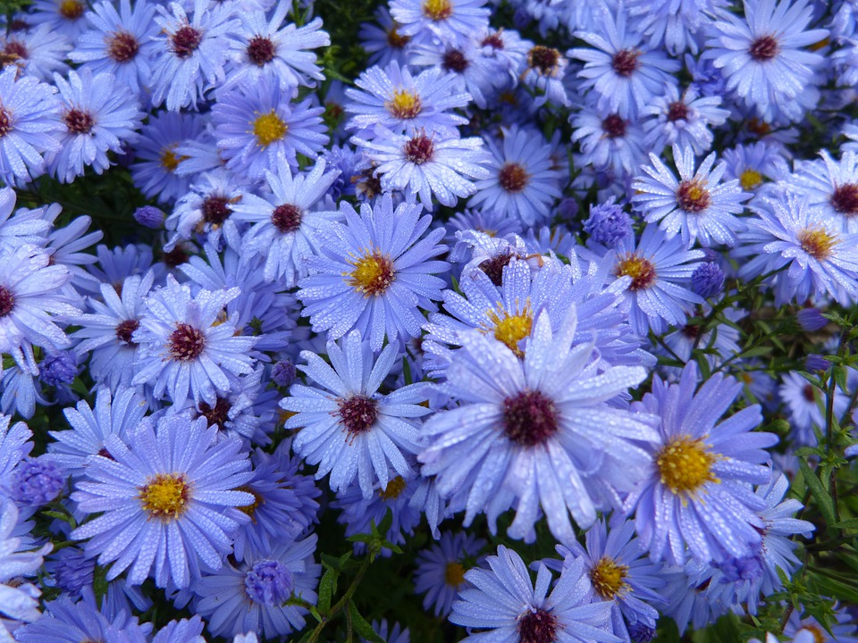Flowers, Blue, Nature, Forest, Plant, Aster