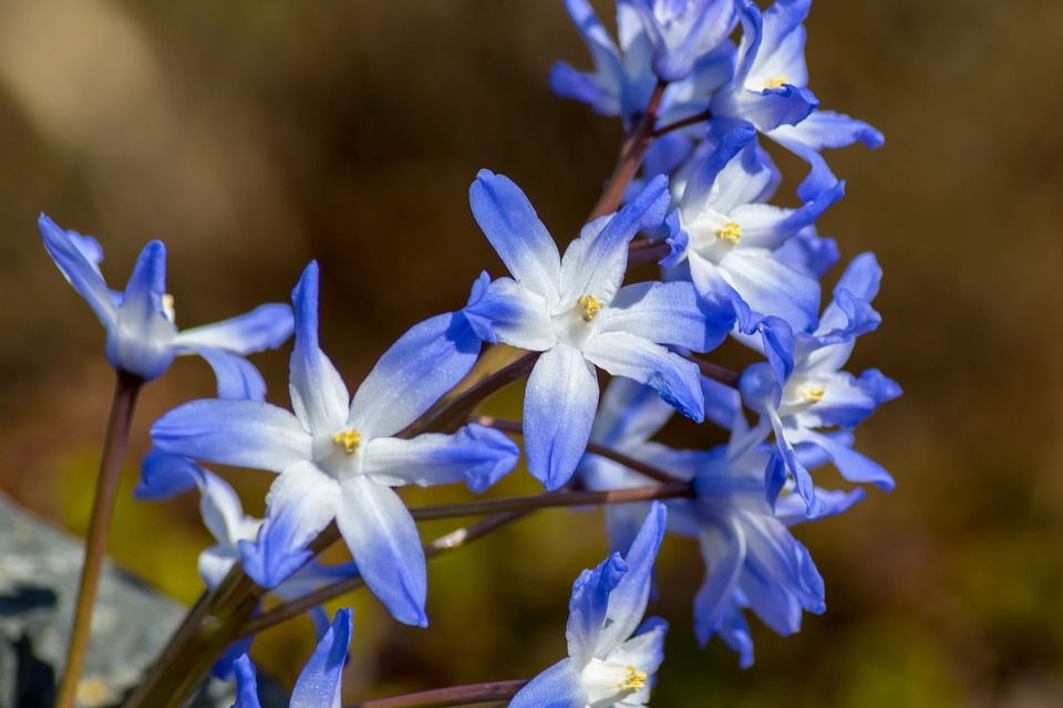 Nature, Flower, Plant, Petal, Season, Blue Asterisk