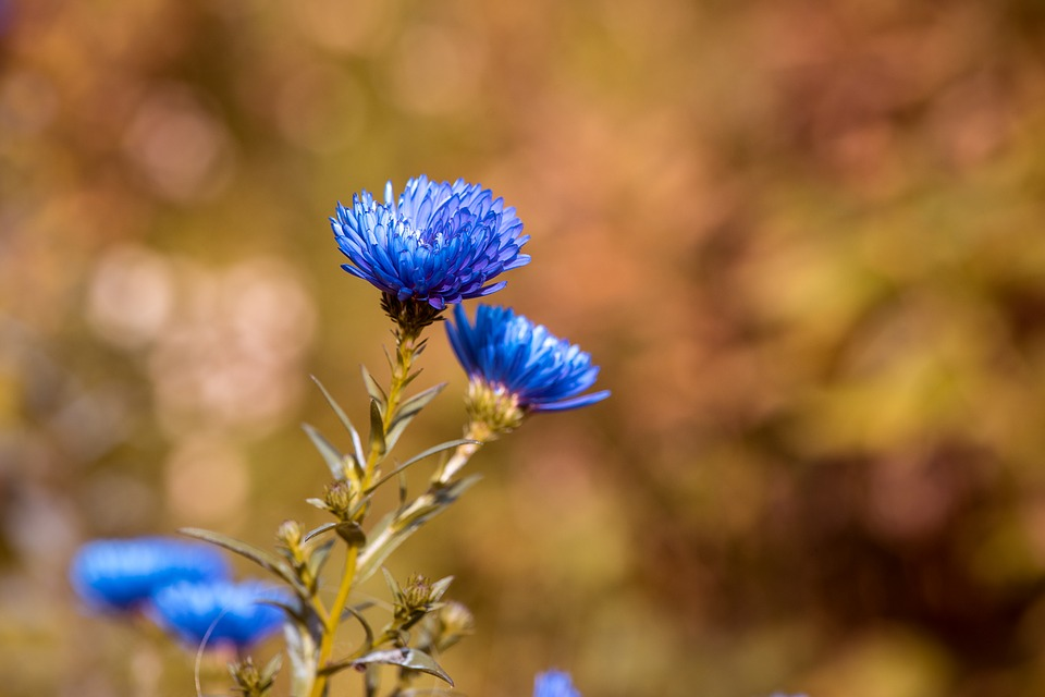 Asters, Herbstastern, Fall Asters, Blue, Blue Asters