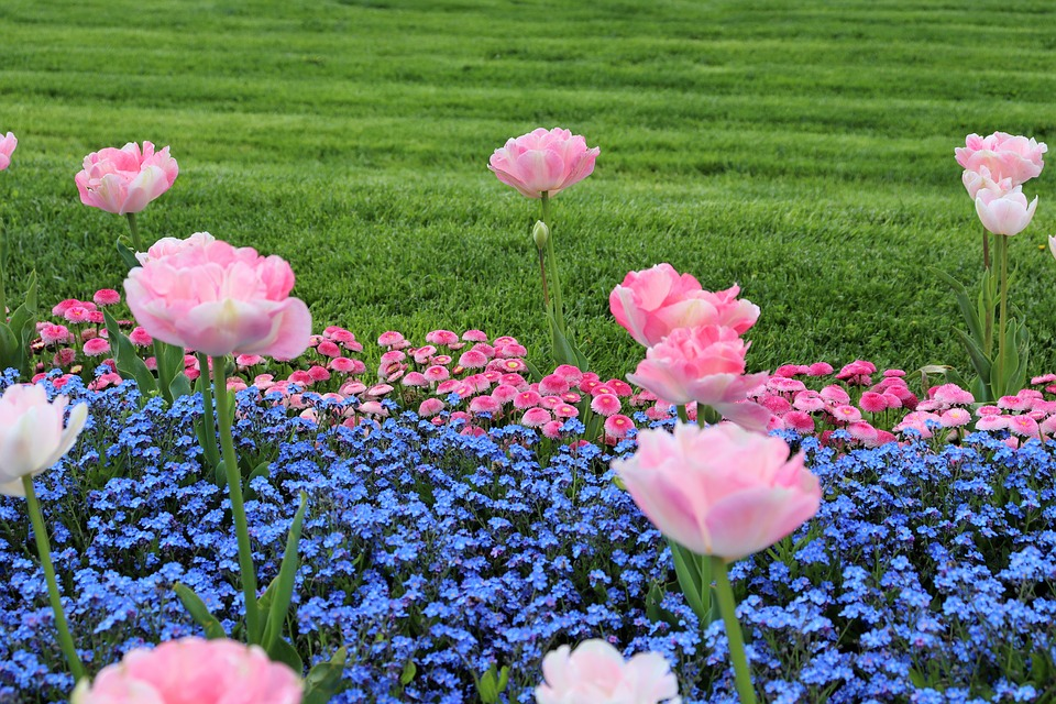 Spring, Pink Tulips, Blue Aubrieta