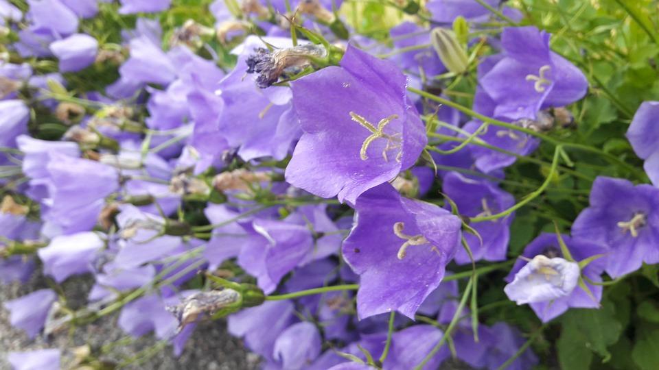 Blue Bell, Plant, Klocklika Flowers, Grass, About