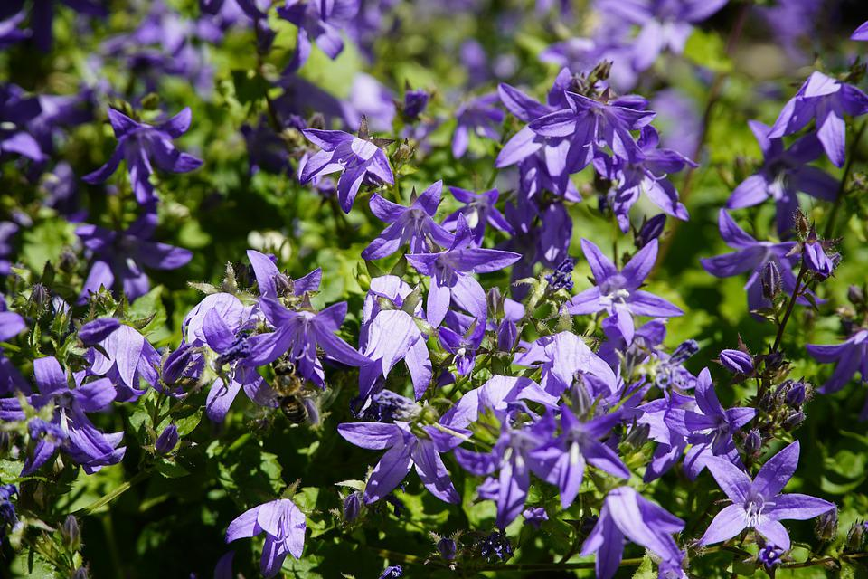 Campanula, Bluebell, Bellflowers, Blue, Flowers, Summer