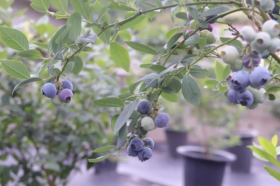 Blue Berries, Berries, Blueberries, Blueberry, Fruit