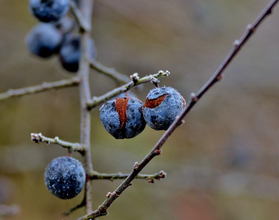Blue Berry, Blue, Berry, Winter, Nature, Berries