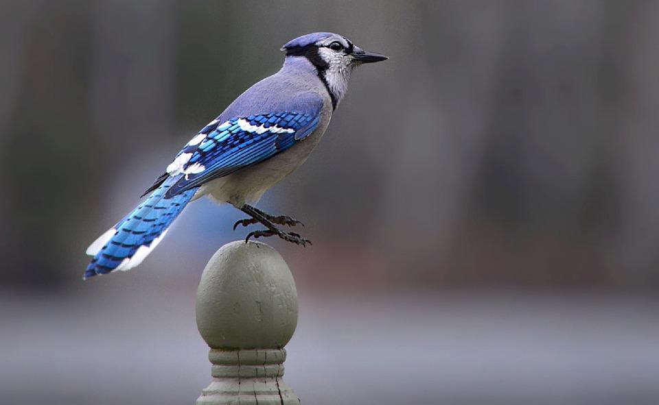 Blue Jay, Bird, Perched Bird, Blue Bird, Feathers