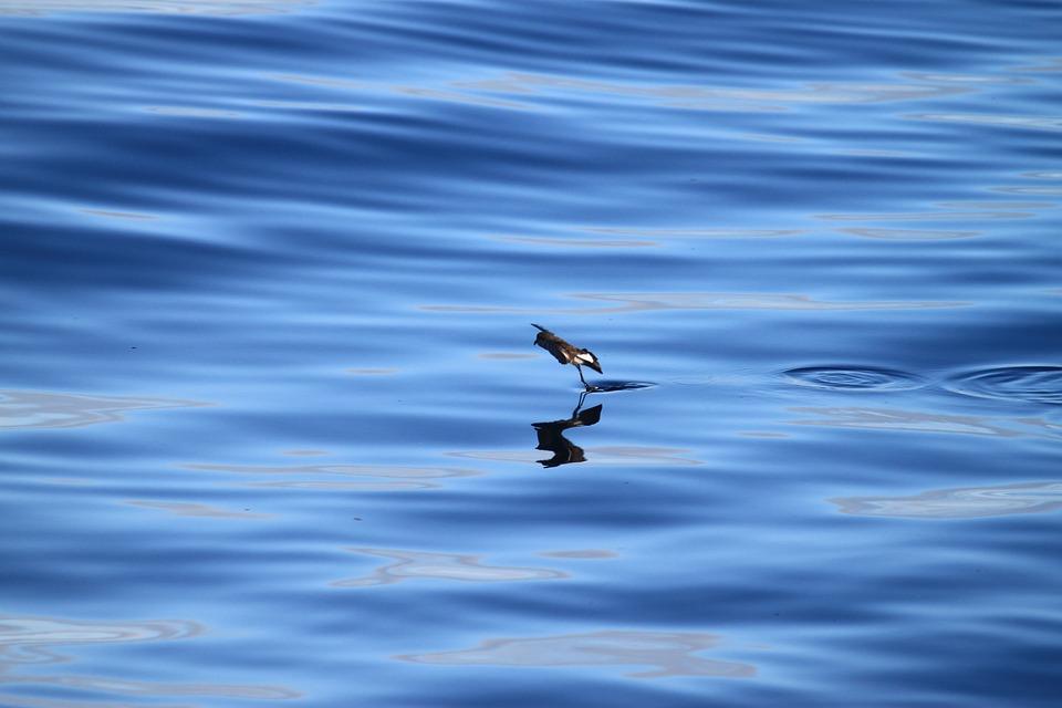 Petrel, Storm, Nature, Ocean, Sea, Bird, Blue, Water