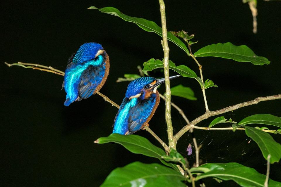 Blue Eared Kingfisher Pair, Sepilok, Borneo, Blue Birds