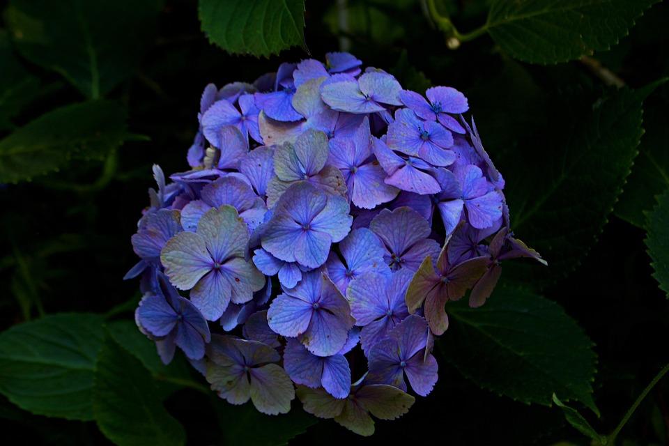 Hydrangea, Flowers, Mountain, Blue, Purple, Black