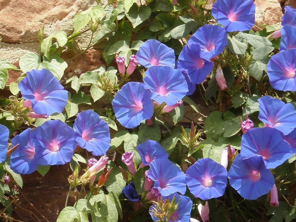 Vetches, Blue, Blossom, Bloom, Flower