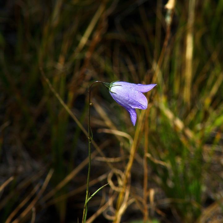 Small Blue Bell Wildflower, Flower, Blue, Bloom, Nature