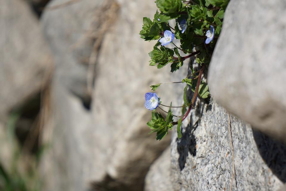 Honorary Award, Blossom, Bloom, Wall, Blue, Flower