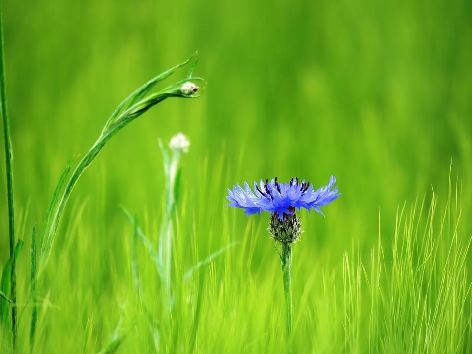 Cornflower, Blue, Blossom, Bloom, Wild Flowers, Field