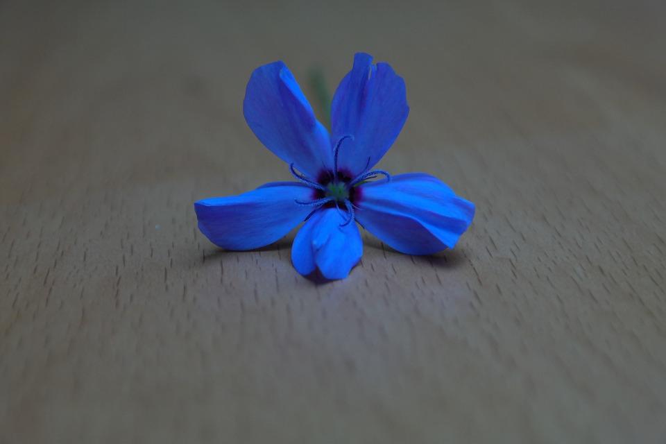 Sky Rose, Flower, Blossom, Bloom, Blue, Blue Violet