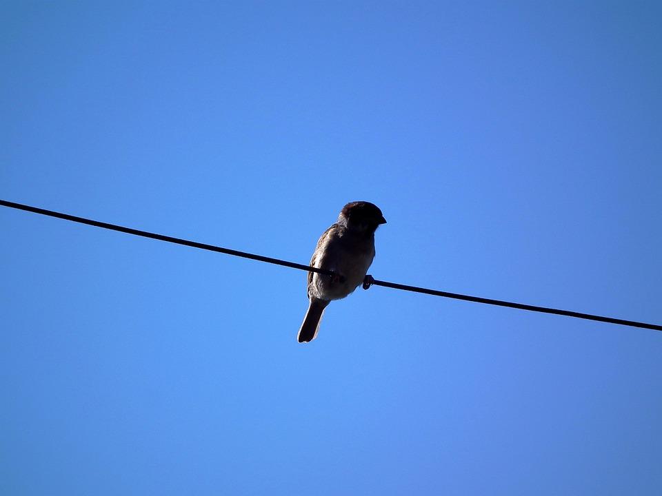 Bird, Sparrow, Sky, Wire, Blue Sky, Blue, Brown, Birds