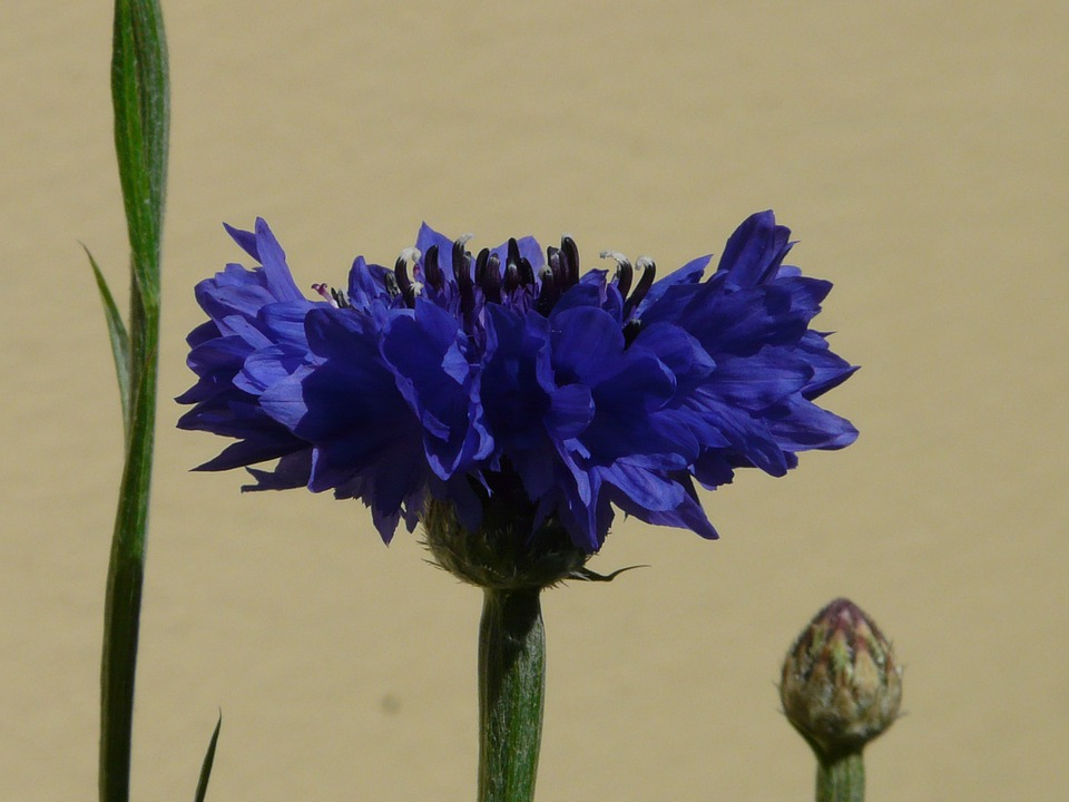 Cornflower, Leaves, Blossom, Bloom, Bud, Blue, Flower