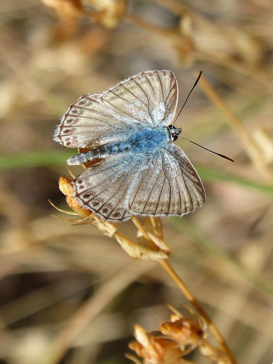 Butterfly, Hispanic Polyommatus, Blue Butterfly