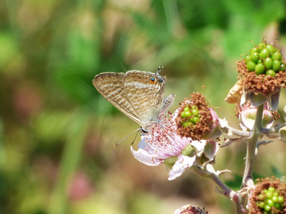 Butterfly, Teenindusega Boeticus, Blue Butterfly, Libar