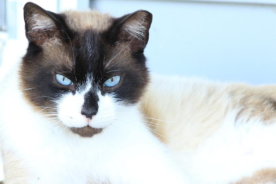 Blue Cat Eyes, Blue, Ice Blue, Kitten, Grey, Cat