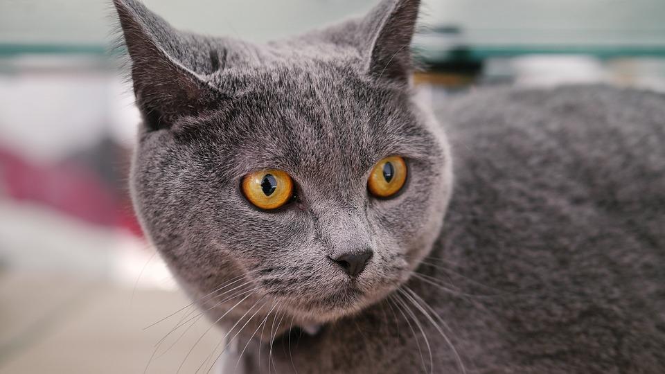 Cat Mia, Blue Cat's, Pet