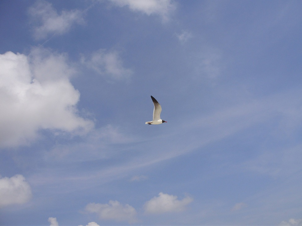 Seagull, Bird, Sky, Clouds, Blue, Day, Outside