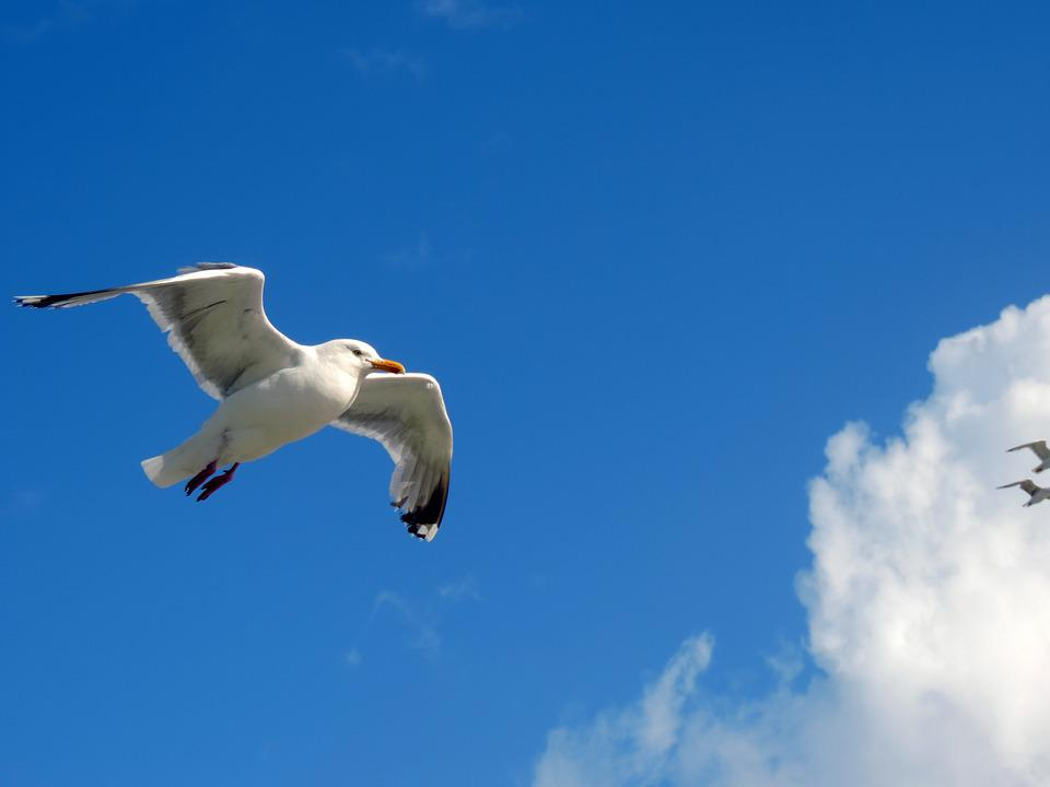 Seagull, Sky, Fly, Blue, Animal, Birds Nature, Clouds