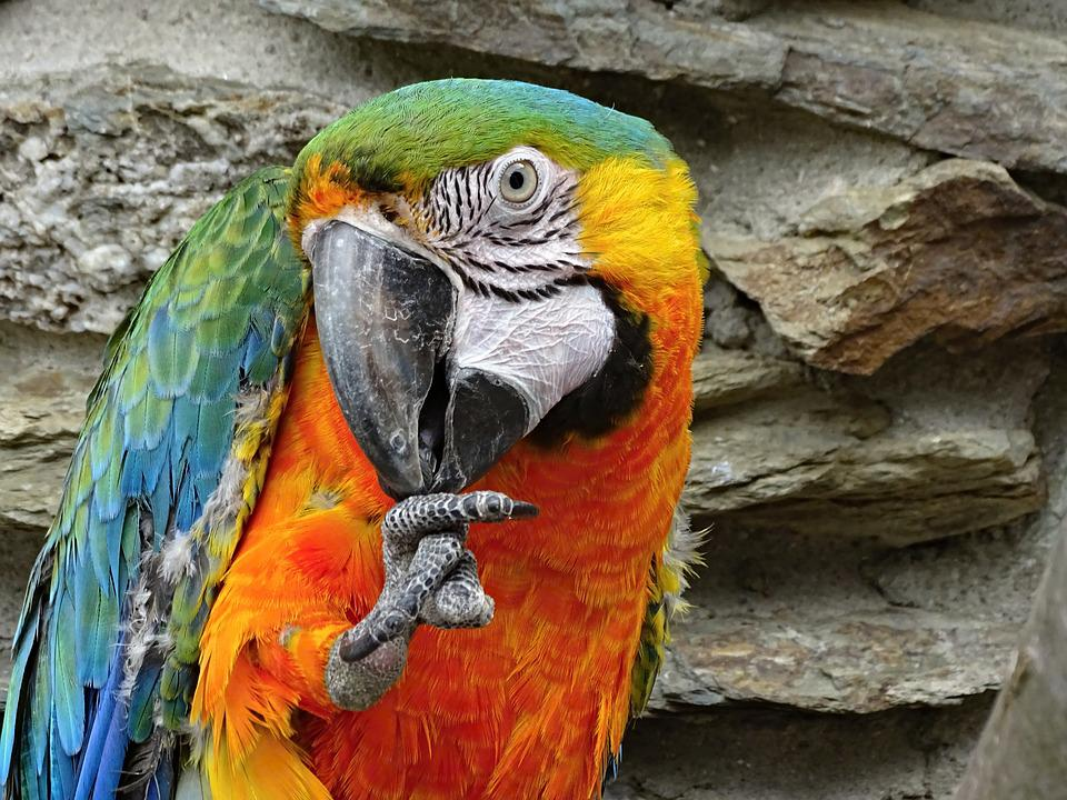 Parrot, Ara, Bird, Colorful, Animal, Blue, Plumage