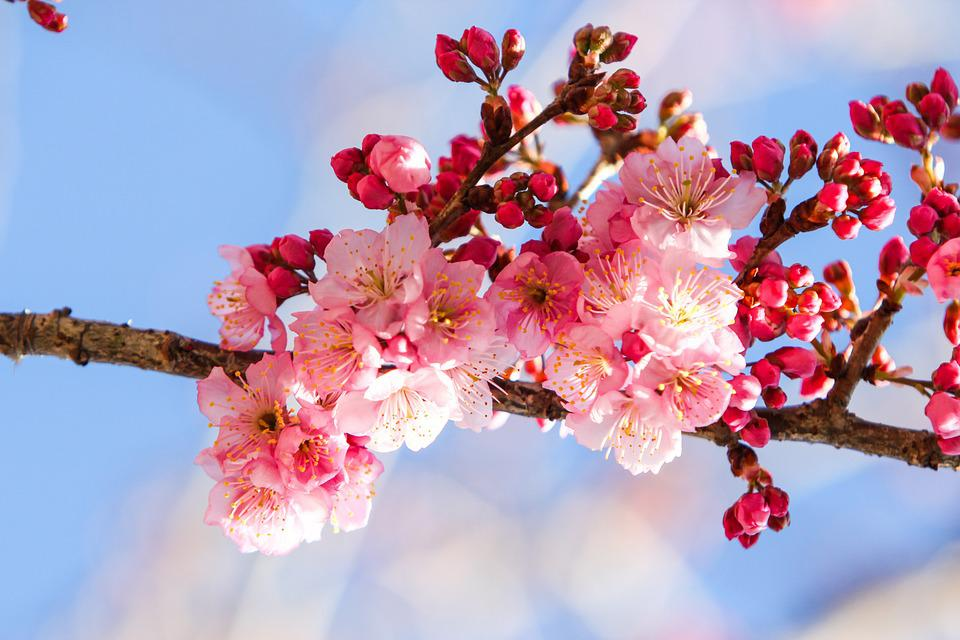 Cherry Blossoms, Natural, Blue Day, Xie, Landscape